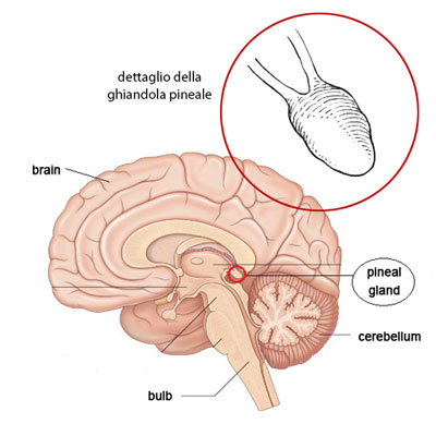 pineal gland anatomy